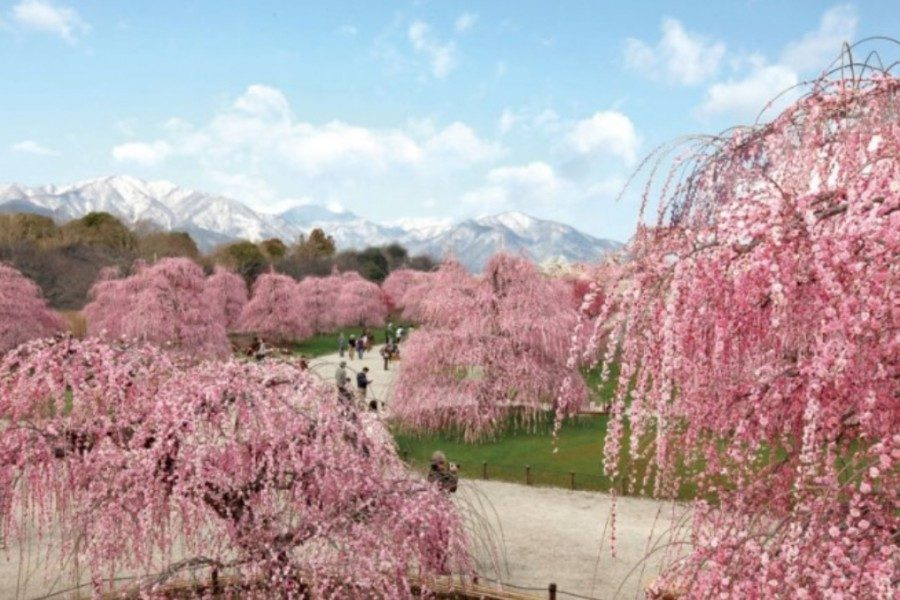 &nbspThe beautiful plum blossom festival in Suzuka Mie Prefecture