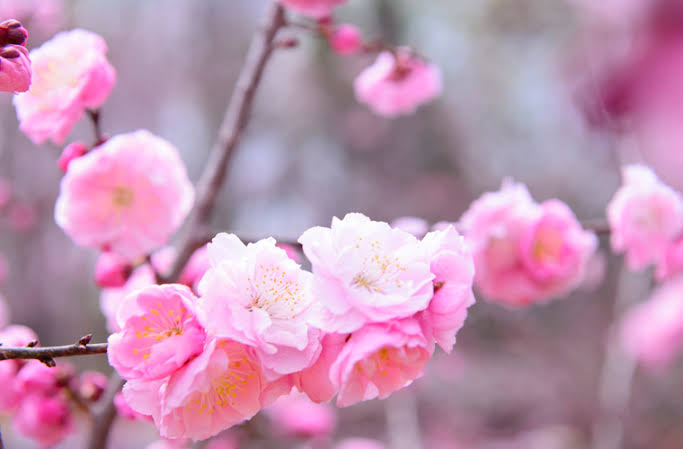 &nbspBeautiful and fragrant plum blossoms in Yamanashi, Japan