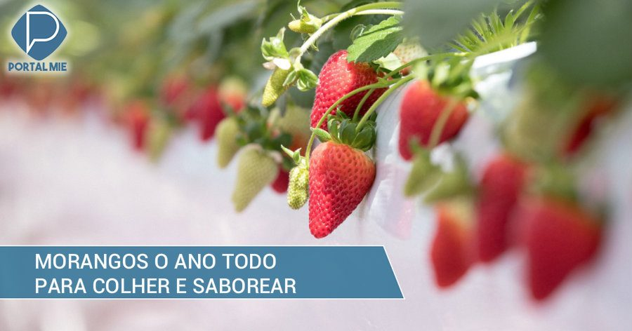 &nbspStrawberries all year-round to harvest and savor