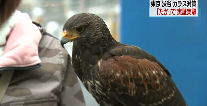 &nbspShibuya uses hawk to chase away crows