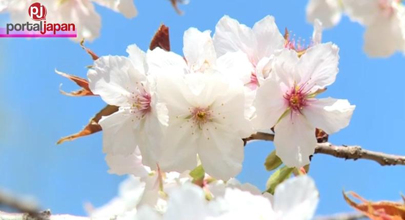 &nbspNag full bloom na ang cherry trees sa Nagatoro, Saitama