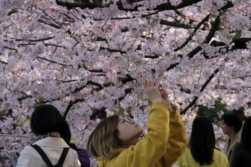 &nbspMaaming mga cherry blossom festival ang na-kasela dahil sa takot sa virus