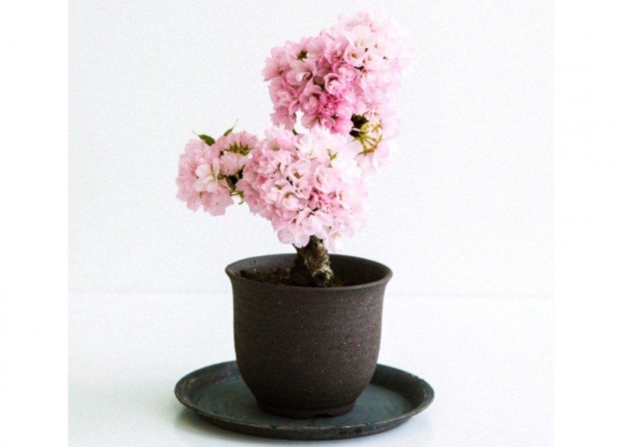 &nbspMaaari ng magkaroon ng potted mini sakura trees