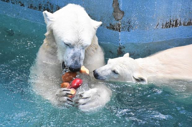 &nbspMga polar bears sa Osaka zoo binigyan ng fruity ice treats upang mapawi ang init ng panahon